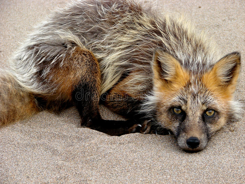 Download Little fox stock photo. Image of urup, ostrov, flora - 32262440