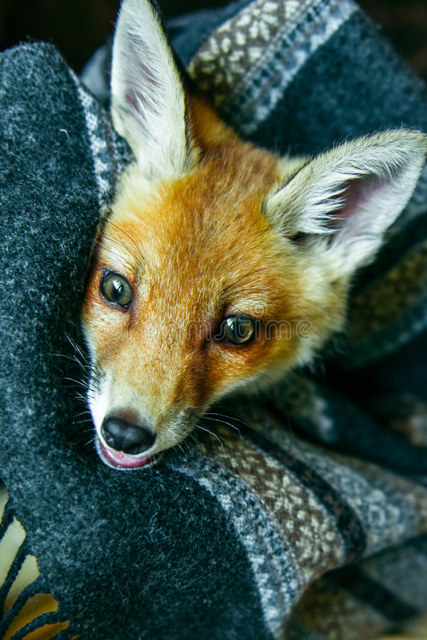 Little fox wrapped in a scarf. 3 months the little fox. Little fox domestication stock photo