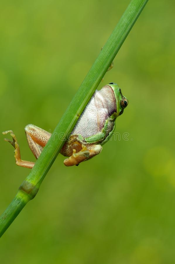 Little frog Hyla arborea on a blade of grass. Little green frog Hyla arborea on a blade of grass royalty free stock image