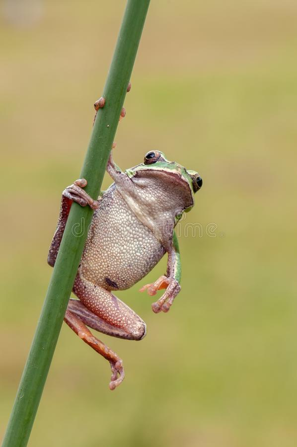 Little  frog Hyla arborea on a blade of grass. Little green frog Hyla arborea on a blade of grass royalty free stock photo