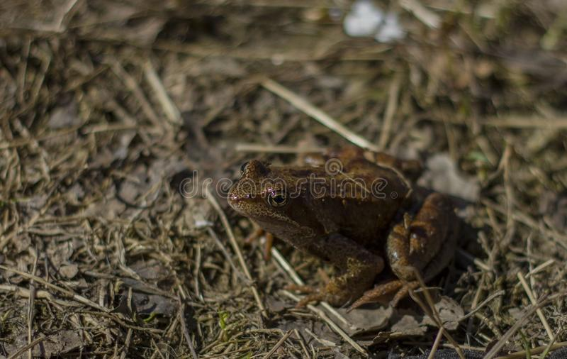 Little frog sunlit on dry grass royalty free stock photo