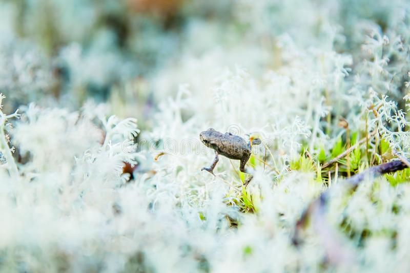 Little frog in the white moss of Karelian forest stock image