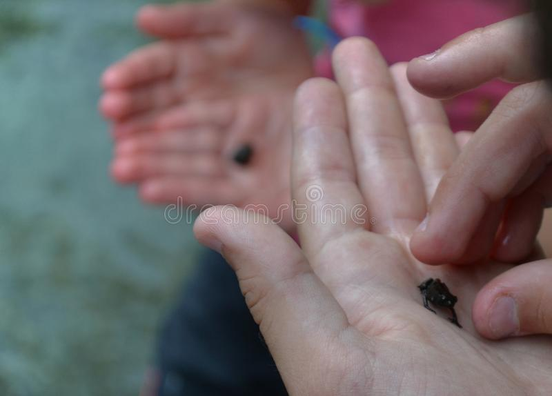 Little frogs in hands stock photography