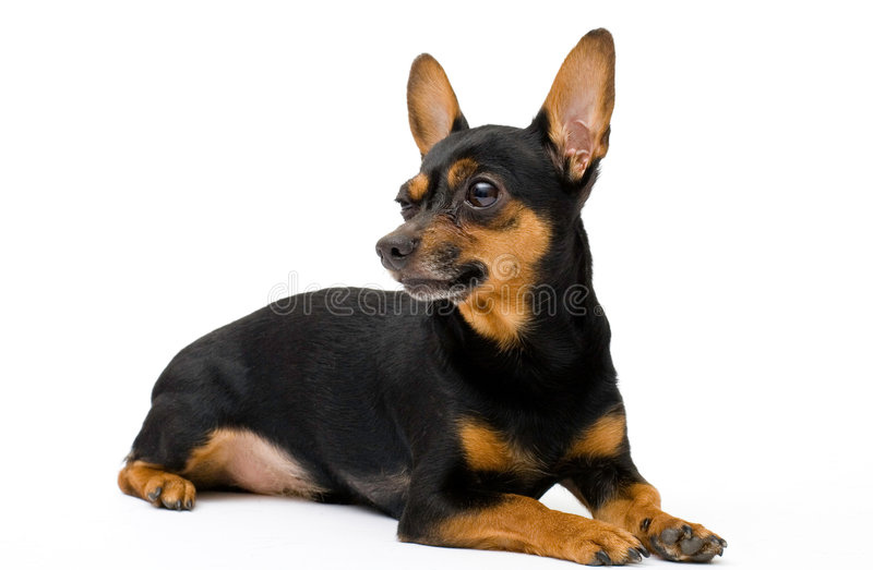 Little funny dog stock images