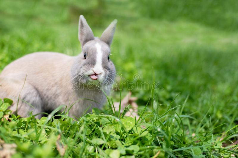 Little funny dwarf rabbit showing a tongue. Easter bunny on a green background stock photography