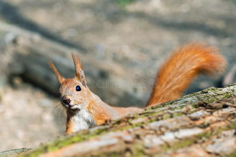 Little funny fluffy red squirrel peeking out wooden log in forest on bright sunny day. Curious cute rodent animal in stock images