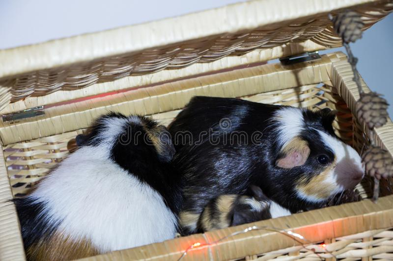 Little funny guinea pig royalty free stock photos