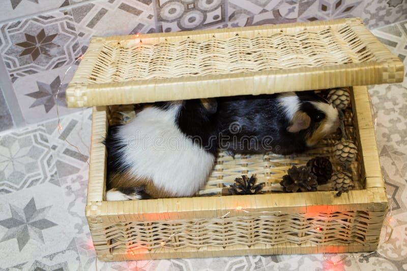 Little funny guinea pig stock photo