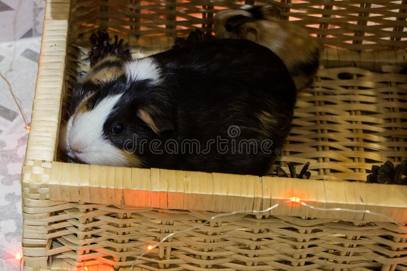 Little funny guinea pig royalty free stock photography