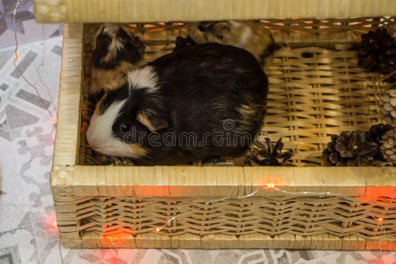 Little funny guinea pig stock photos