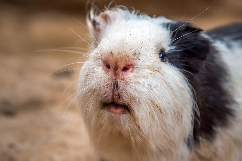 Little funny guinea pig royalty free stock photo