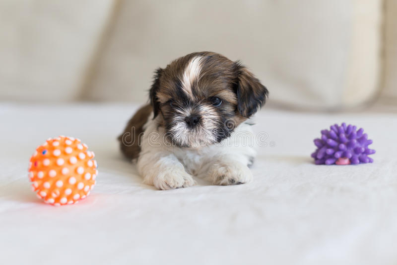 Little furry shih-tzu pupy are playing stock photo