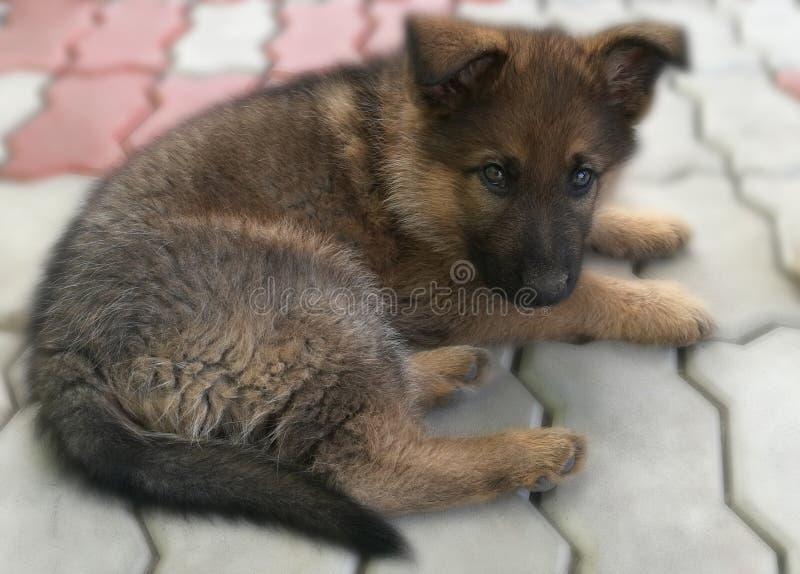 Little German Shepherd puppy. On the sidewalk royalty free stock photo