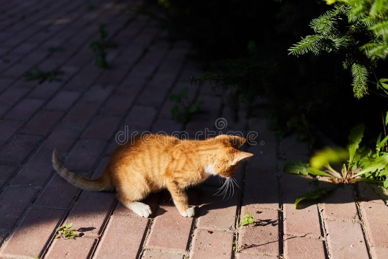 Little ginger kitten plays outside royalty free stock image