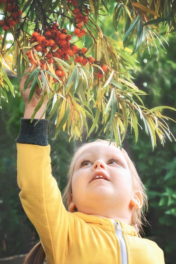 Little girl baby eats seasonal sea-buckthorn berries. Little girl baby in yellow jumpsuit suit with blond hair gathers and bites off eats seasonal sea-buckthorn royalty free stock photography