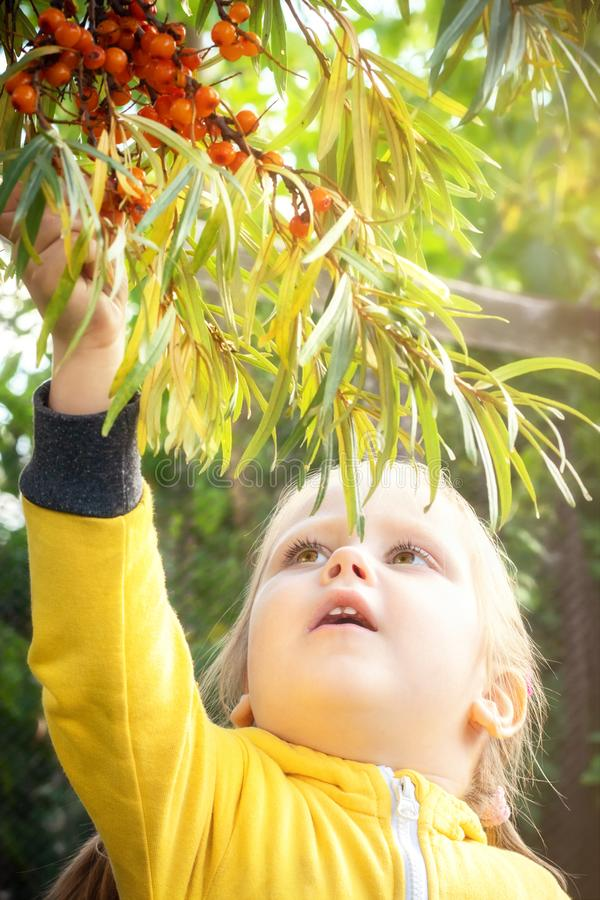 Little girl baby eats seasonal sea-buckthorn berries. Little girl baby in yellow jumpsuit suit with blond hair gathers and bites off eats seasonal sea-buckthorn stock photography