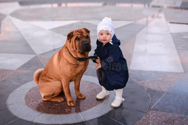 A little girl in a blue coat and a white hat holds on a leash a big red dog Shar Pei stock photos