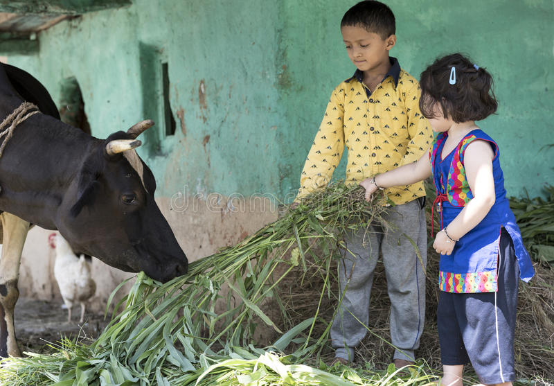 Little girl and boy feeding cow with grass. stock photos