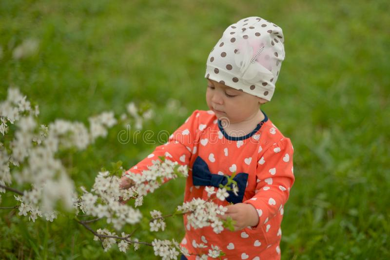 A little girl in a cap stands next to a blooming Apple tree on a spring stock image