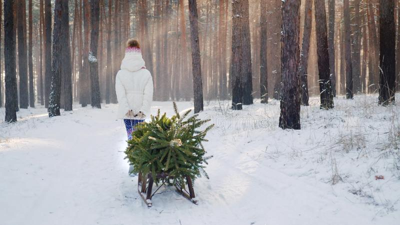 A little girl is carrying a Christmas tree on a wooden sled. Goes through the snow-covered forest, the sun`s rays shine stock photos
