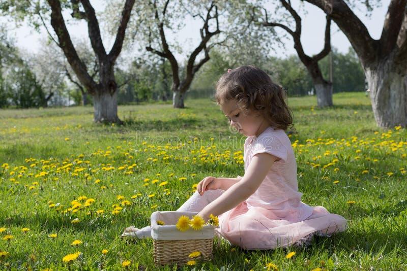 Little girl on dandelion lawn pick up dandelions in a basket.  stock images