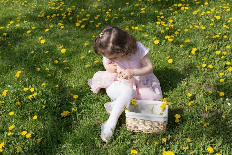 Little girl on dandelion lawn pick up dandelions in a basket.  royalty free stock photos