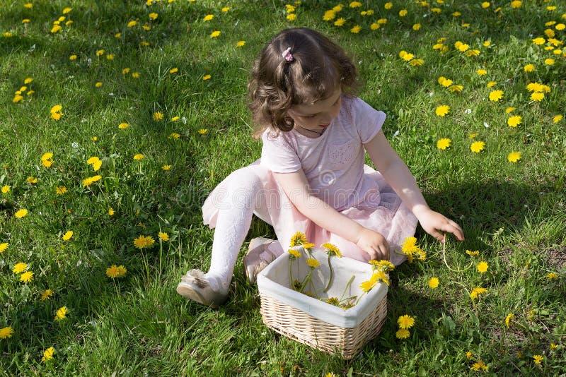 Little girl on dandelion lawn pick up dandelions in a basket.  stock image
