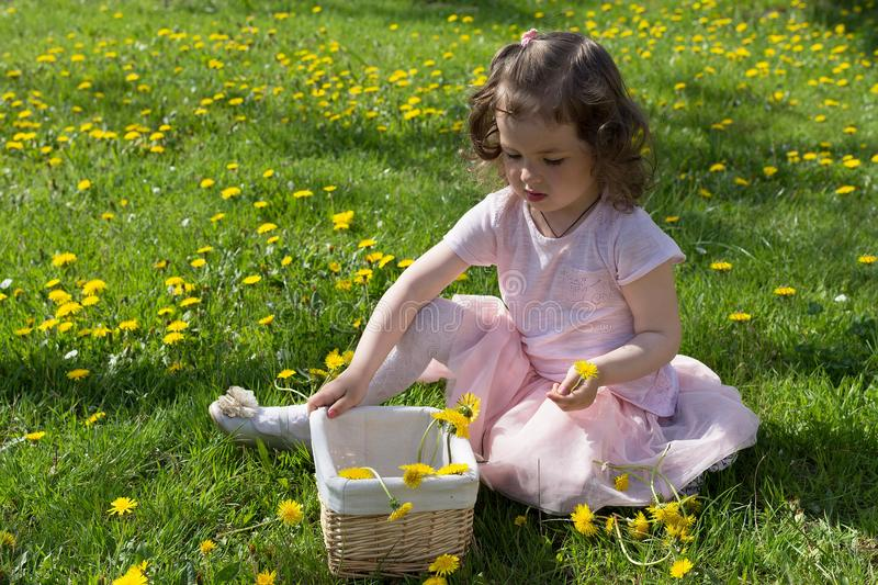 Little girl on dandelion lawn pick up dandelions in a basket.  royalty free stock photography
