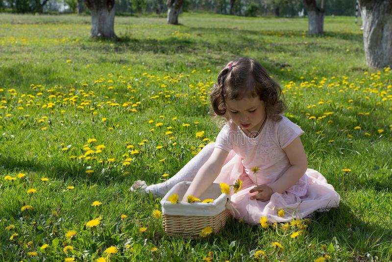 Little girl on dandelion lawn pick up dandelions in a basket.  royalty free stock photo