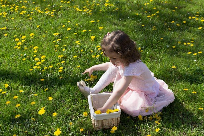 Little girl on dandelion lawn pick up dandelions in a basket.  stock photo