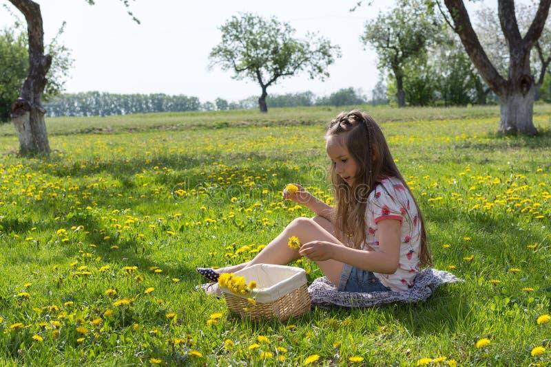 Little girl on dandelion lawn pick up dandelions in a basket.  royalty free stock image