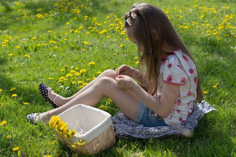 Little girl on dandelion lawn pick up dandelions in a basket.  stock photos