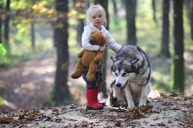 Little girl with dog in autumn forest. Child play with husky and teddy bear on fresh air outdoor. Childhood, game and. Fun. Red riding hood with wolf in fairy stock photography