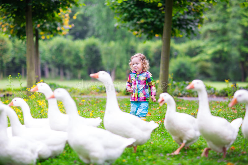 Little girl feeding geese royalty free stock image