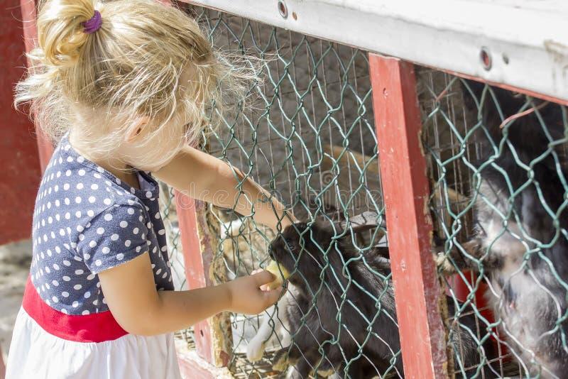 Little girl feeding a rabbit stock photography