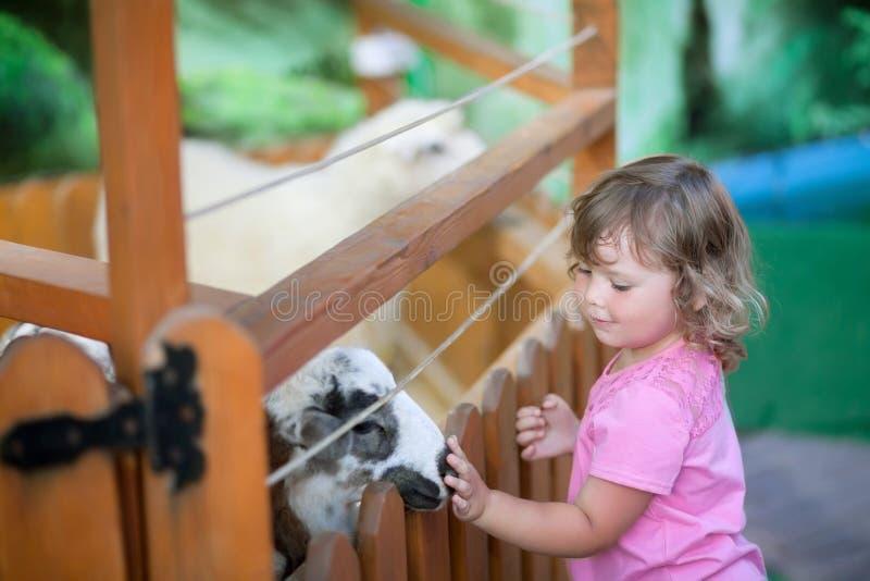 Little girl feeding sheeps at farm. stock photos