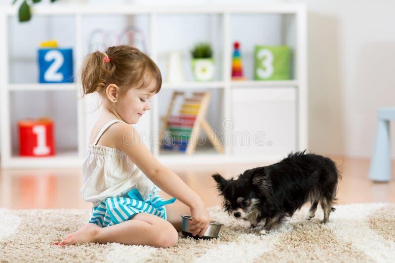 Little girl feeds Chihuahua dog in children room. Kids pet friendship. Little girl feeding Chihuahua dog in children room. Kids and pets friendship stock photo