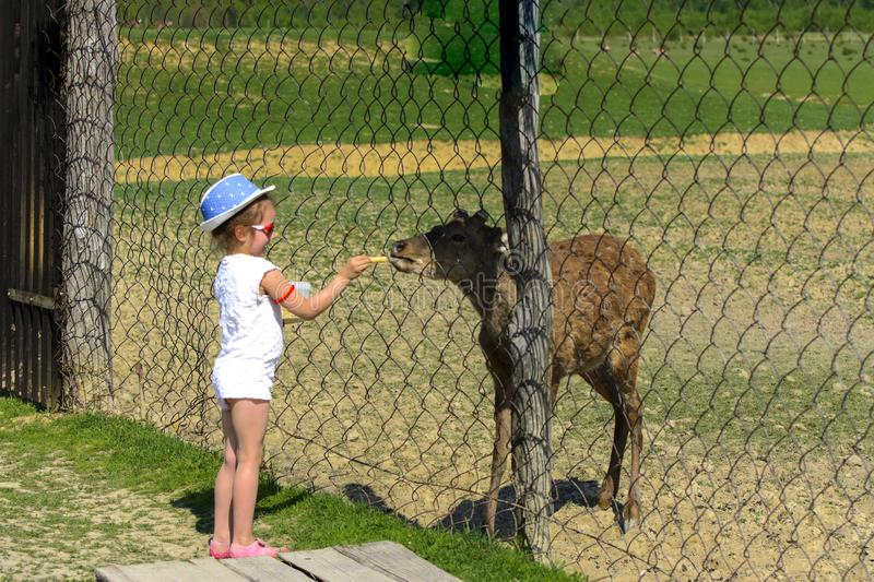A little girl feeds a young deer in a zoo in the summer during t royalty free stock photography