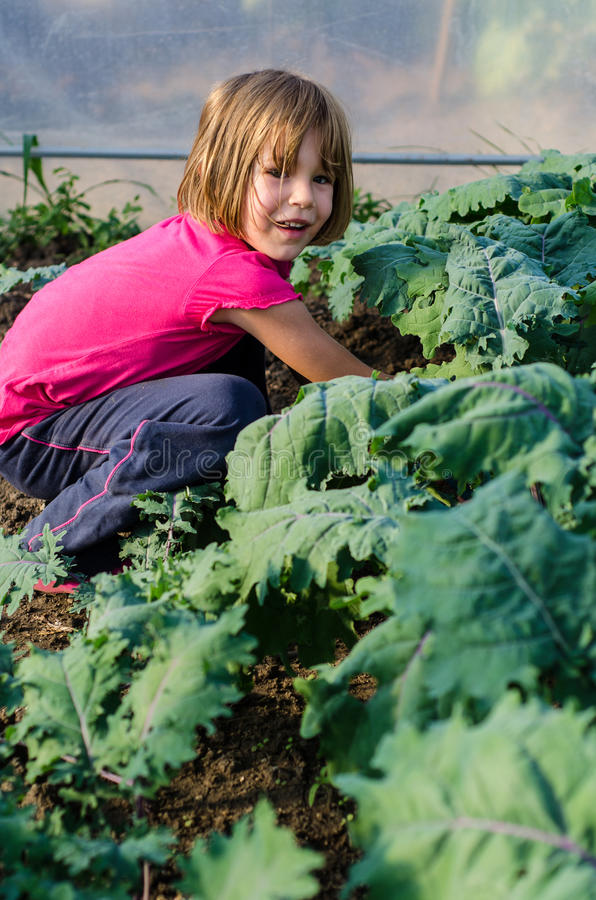 Little girl gathering kale. Little blond girl gathering 'red russian' kale leaves stock photos