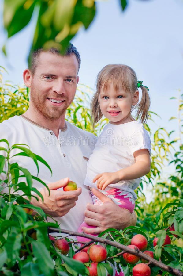 Little girl with her father picking peaches in garden royalty free stock images