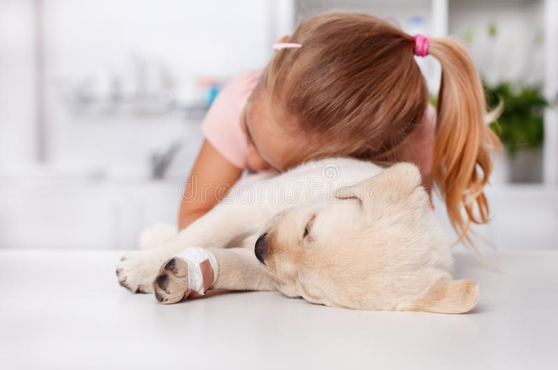 Little girl hugging her injured labrador puppy dog at the veterinary doctor office. Little girl hugging her injured labrador puppy dog lying on the examination royalty free stock images