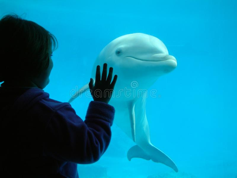 Little girl interacting with a dolphin stock image