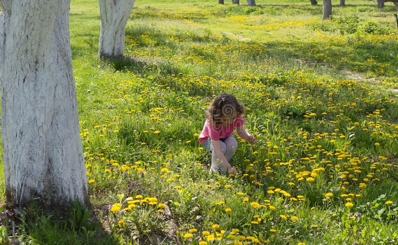 Little girl pick up dandelion on the lawn.  royalty free stock image