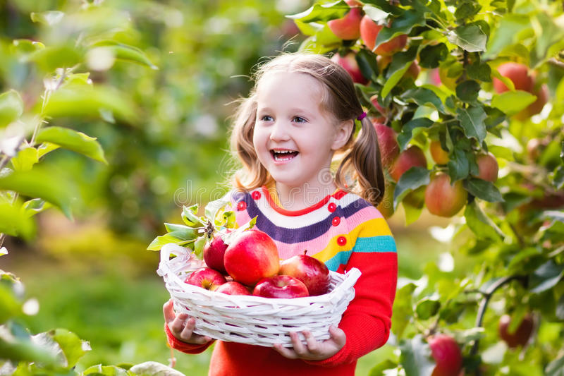 Little girl picking apple in fruit garden royalty free stock photo
