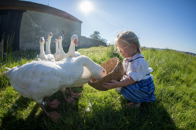 Little girl playing with geese. Funny happy little girl, adorable toddler playing and feeding white geese birds on a warm autumn day stock photography