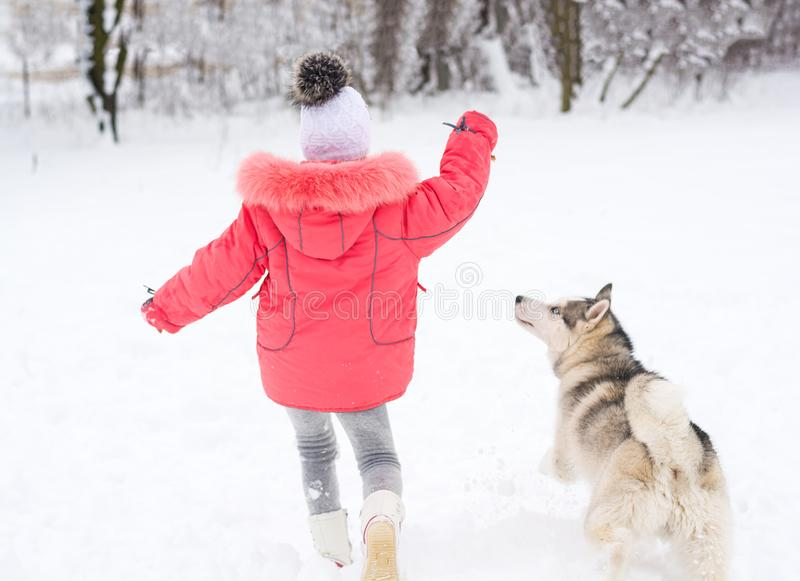 Little girl playing with a Siberian husky breed dog in the winter in the snow royalty free stock images