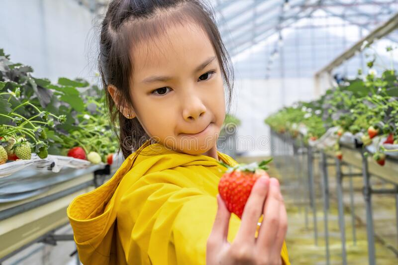 Little girl posting and smelling  strawberry in Sendai hydroponic strawberry farm, healthy lifestyle concept stock image