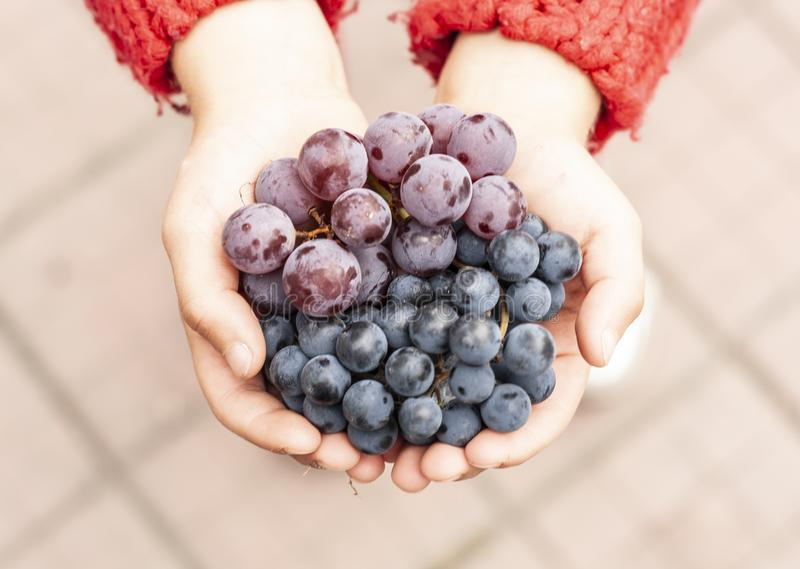 Little girl holds bunches of grapes in her hands. A little girl in a red sweater holds bunches of multi-colored grapes in her hands stock photo