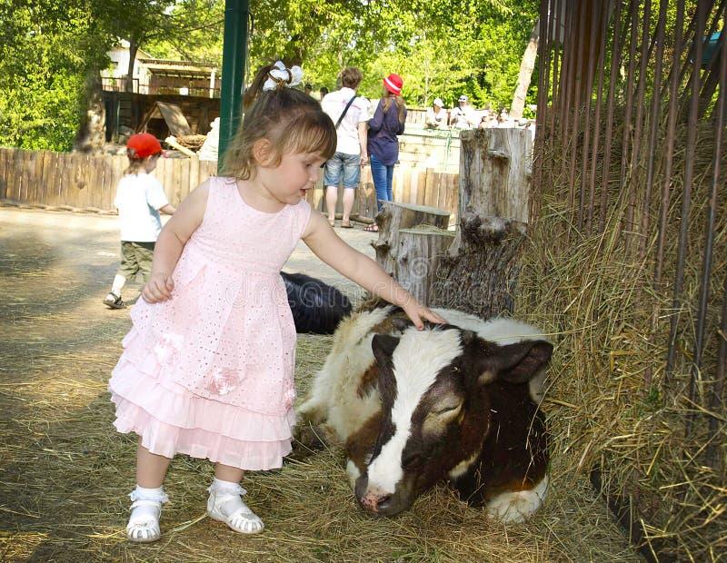 Little girl stroking a calf stock image