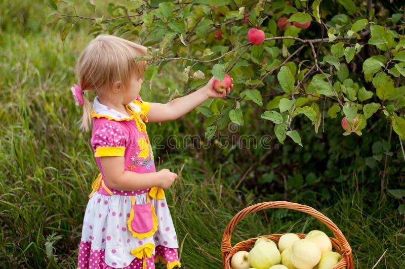 Little girl years to pick apples. Little girl 2.5 years to pick apples royalty free stock photography